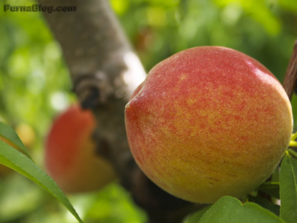 Peach01_1024x768.jpg