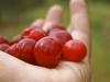 Cherries_1024x768.jpg